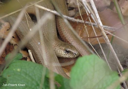 Mannetje hazelworm