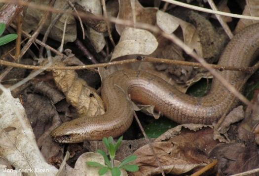 Mannetje hazelworm met stipjes
