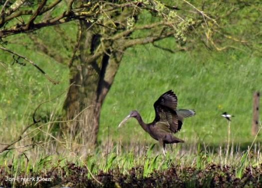 Zwarte ibis  wordt opgejaagd door een huiszwaluw