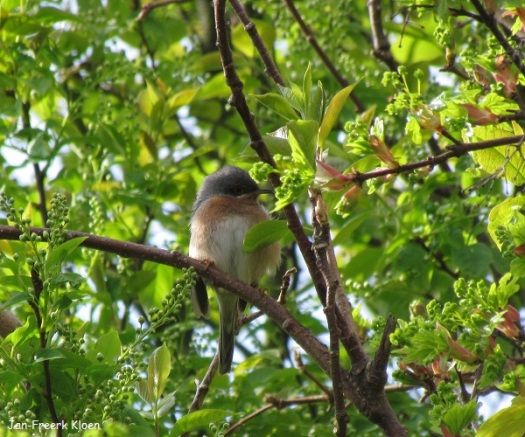 Baardgrasmus bovenin een boom
