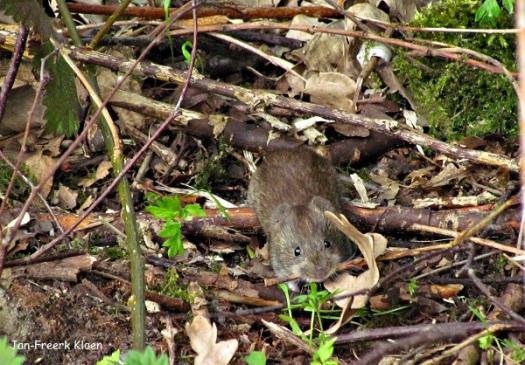 Dinsdag: rosse woelmuis druk bezig met z'n takjes en blaadjes