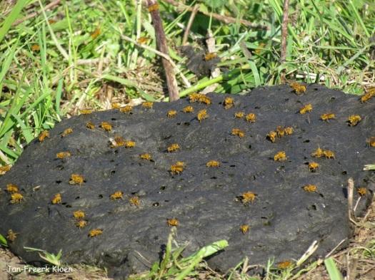 Donderdag: het rijke mestleven in de vorm van strontvliegen