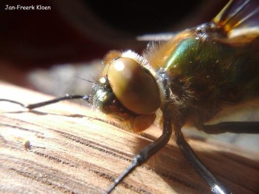 Close-up smaragdlibel