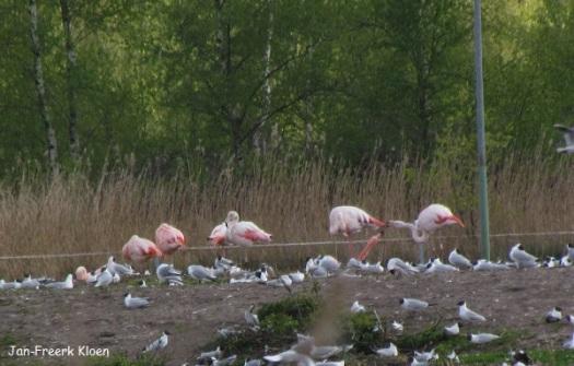 Groep met Chileense, rode en roze flamingo's. Rechts in de foto wordt een rode gevoerd.