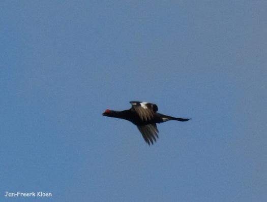 Mannetje korhoen komt overvliegen, hier zie je de bovenkant van zijn vleugel.