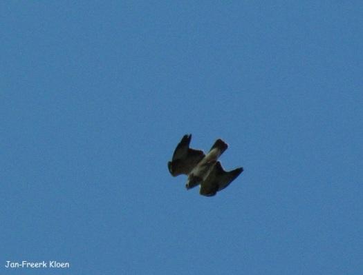 Ruigpootbuizerd duikt omlaag op de weidevogels af