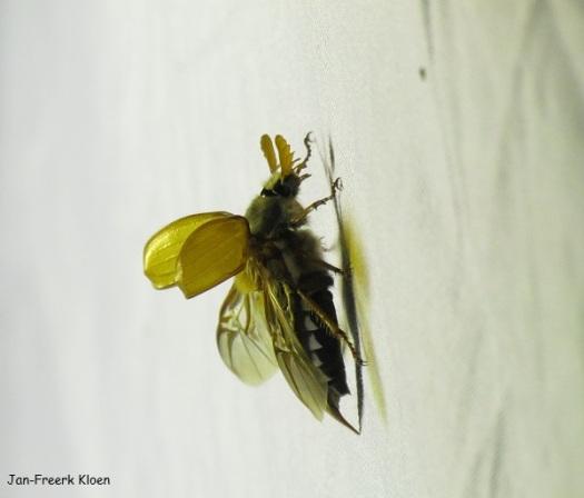 Meikever vliegt op van het nachtvlinderdoek