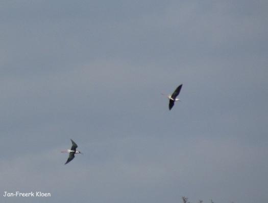 Steltkluten vliegend, eveneens enorme afstand