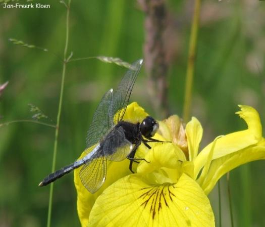 Sierlijke witsnuitlibel op een gele lis