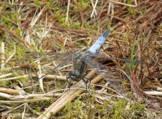 Man gewone oeverlibel. Deze is lichtblauw, met een zwart uiteinde van het achterlijf. Deze soort heeft behalve de pterostigma's geen vlekken op de vleugel, en daarmee onderscheidt hij zich van platbuik en bruine korenbout.