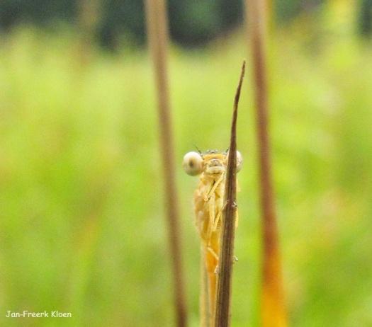 Het andere vrouwtje tengere grasjuffer, deze was écht nog heel vers
