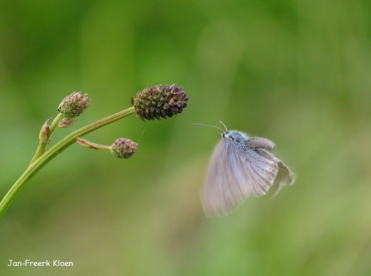 Vliegend rond grote pimpernel
