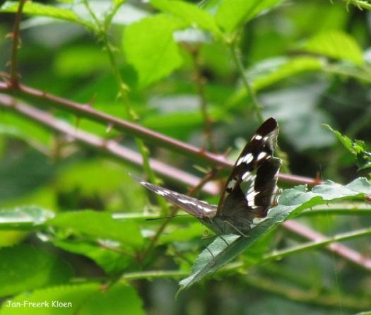 Mannetje grote weerschijnvlinder op een braamstruik