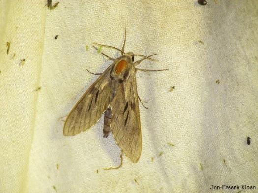 Dennenpijlstaart, 's avonds op het doek bij het nachtvlinderen
