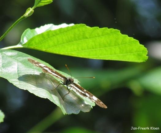 Kleine ijsvogelvlinder van voren