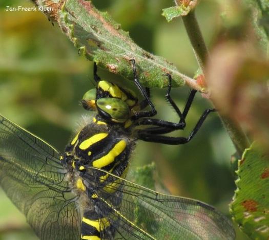 Vrouw gewone bronlibel