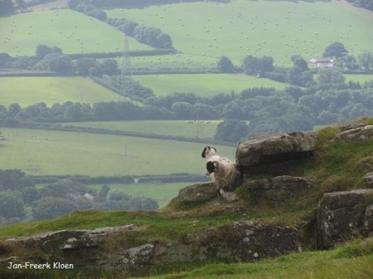 De schapen genieten ook van het uitzicht