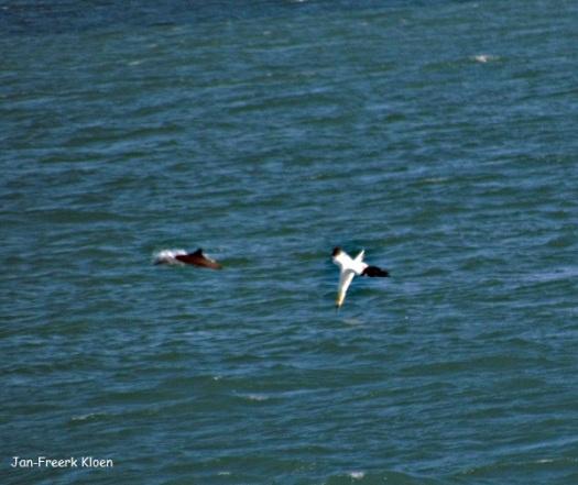 Ik zag deze Jan-van-gent duiken, en maakte een foto. Pas een paar uur later, toen ik de foto nog een keer bekeek zag ik dat er ook een tuimelaar op stond!