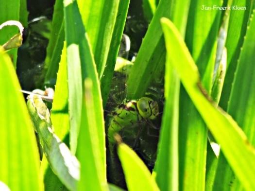 Groene glazenmaker, vrouw eileggend