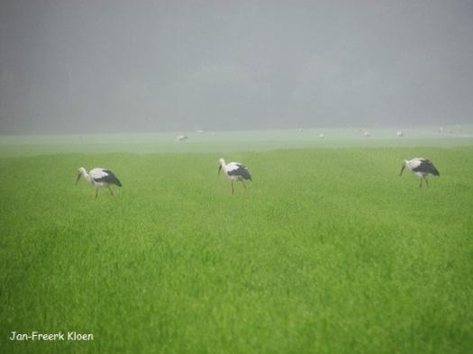 Een veld vol ooievaars (op de achtergrond ook nog)