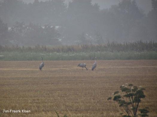 De kraanvogels op het stoppelveld in de miezer, van grote afstand