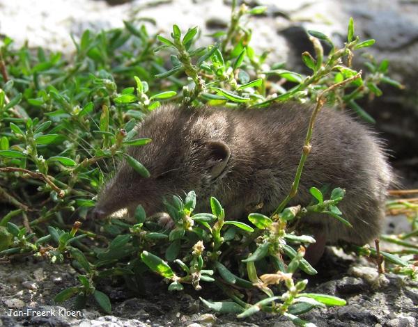 Waarschijnlijk een huisspitsmuis, als je goed kijkt zie je hem gapen.