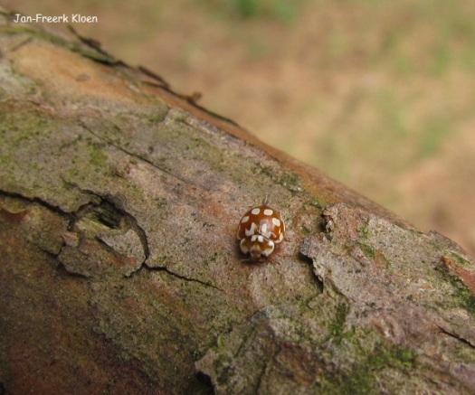 Achttienvleklieveheersbeestje