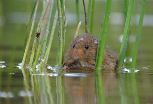 "Stem op deze foto: ""Dwergmuis te water"""