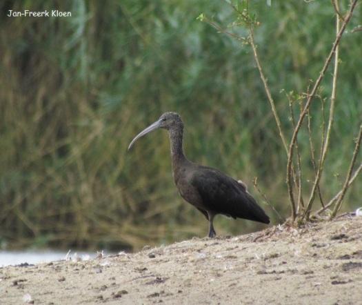 De zwarte ibis