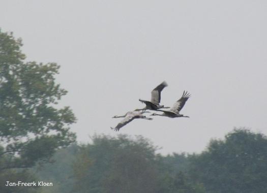 En ook de kraanvogels denken: wegwezen!