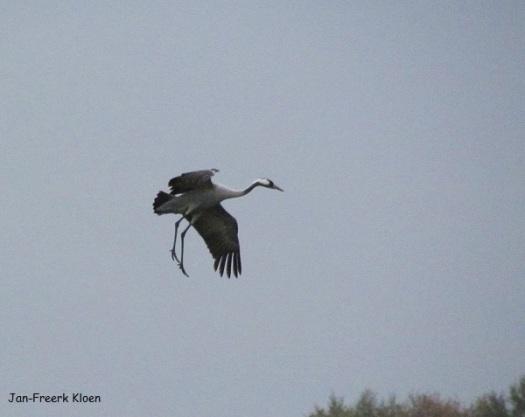 Kraanvogelfoto 12: deze kraanvogel maakt zich klaar om te landen!