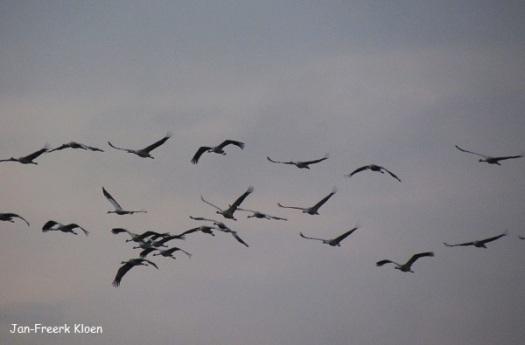 Kraanvogelfoto 15: er komen nog meer kraanvogels bij!