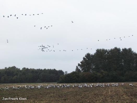 Kraanvogelfoto 16: De grote groepen op de grond en in de lucht