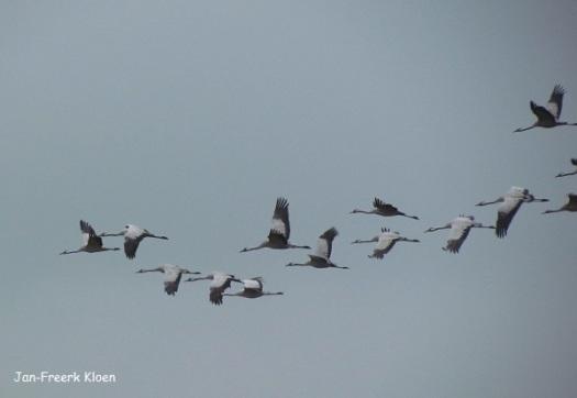 Kraanvogelfoto 17: overvliegende kraanvogels