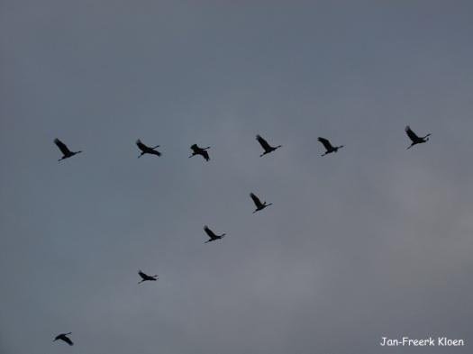 Kraanvogelfoto 19