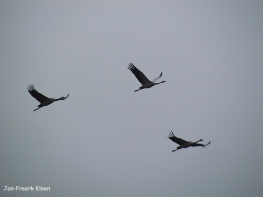 Kraanvogelfoto 20