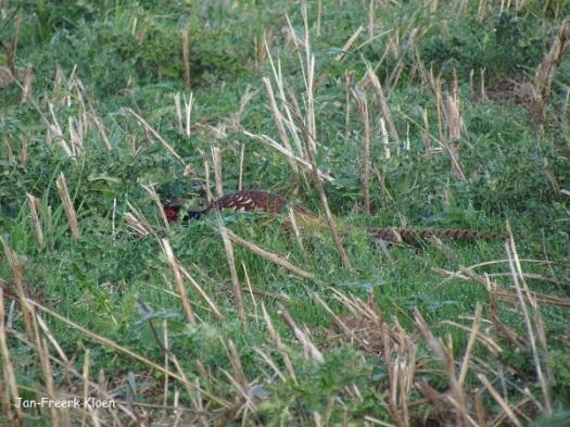 De fazant drukt zich