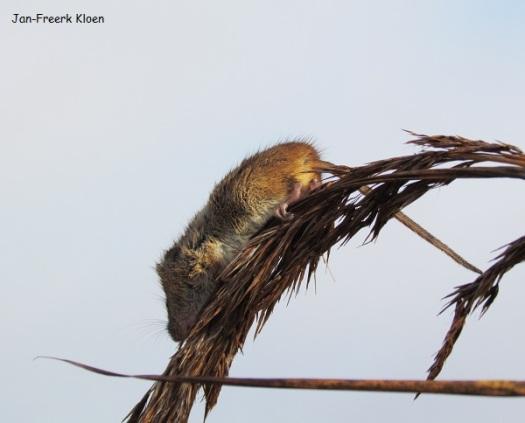 Dwergmuis in de rietstengel, helaas sprong hij er te snel uit voor een betere foto, en ook alle andere gevangen dwergmuizen wilden niet meewerken...