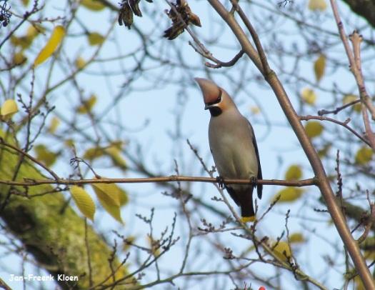Pestvogel foto 2