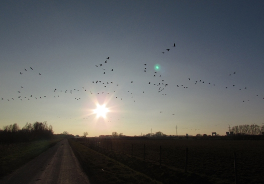 Foto 11: ganzen voor de laagstaande zon