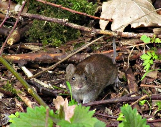 Foto 14: rosse woelmuis