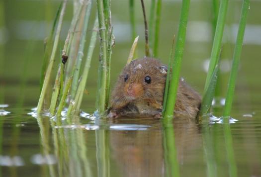 Volgens de jury heeft deze foto van de dwergmuis in het water gewonnen!
