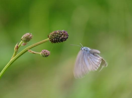 Foto 22: pimpernelblauwtje