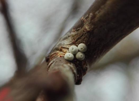 Foto 1; sleedoornpage-eitjes