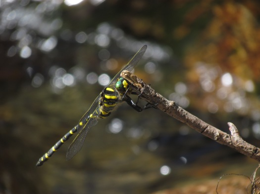 Foto 27: gewone bronlibel (Engeland)
