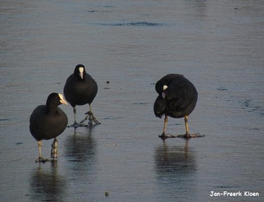 Meerkoeten op het ijs