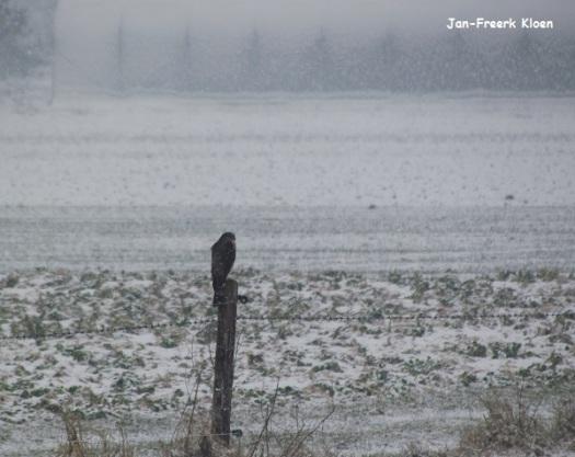 Mannetje sperwer in de sneeuwbui