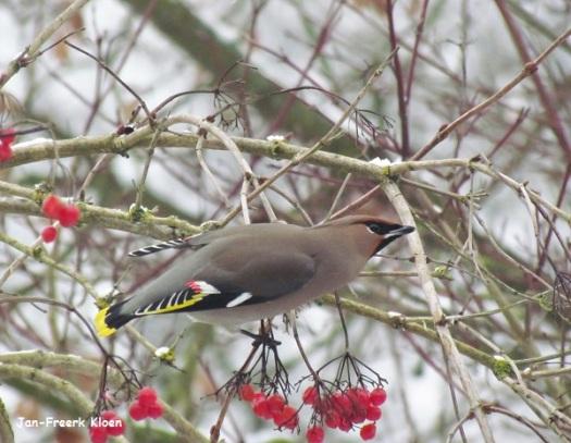 Pestvogel op de besjes van de Gelderse roos op het schoolplein van Vrije School het Zonnewiel