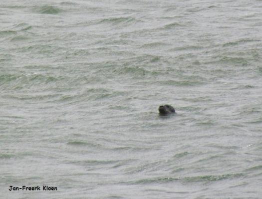 De gewone zeehond