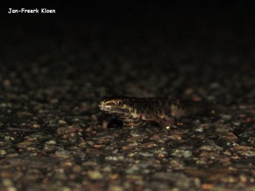 Kleine watersalamander, man